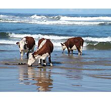Cattle at shore line at Kings run north of Arthur River in far nor west Tasmania Photographic Print