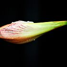 Budding Amaryllis  by Lozzar Flowers & Art