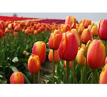 Skagit Valley Tulips Photographic Print