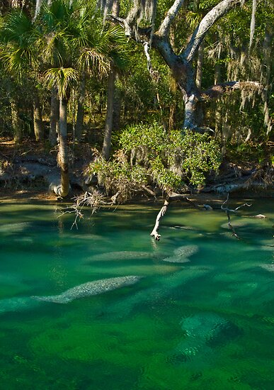 A whole lotta manatees by Josh Myers