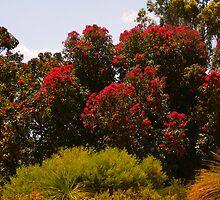 Brilliant red ficifolia by georgieboy98