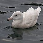 Glaucous Gull by lloydsjourney