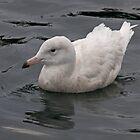 Glaucous Gull by lloydsjourney