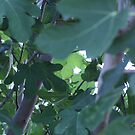 Fig Leaves! by Lesley  Hill