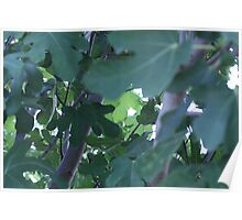 Fig Leaves! Poster