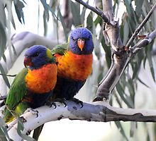 Two Rainbow Lorikeets by ©   Elaine van Dyk