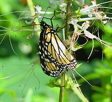 Butterfly by Amy Skinder
