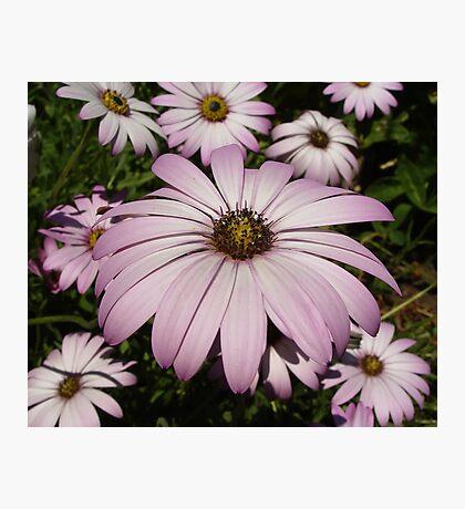 Purple Anemones Photographic Print