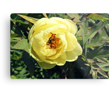 Yellow Tree Peony Metal Print