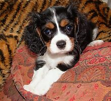 Charlie Girl aged 10 weeks by AnnDixon