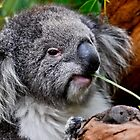 Koala at Heaalesville by Tom Newman