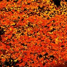 Japanese maple, autumn leaves by flashman