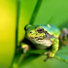 Green Tree Frog by Nathan Lovas Photography