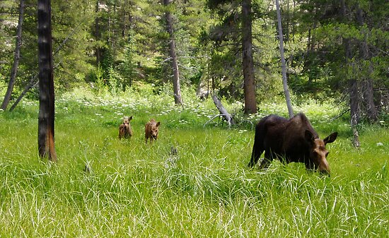 Moose and Calves by Paul Magnanti