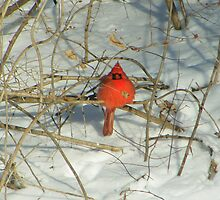 cold cardinal   brrrr! by Dave & Trena Puckett