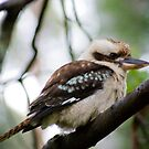 KOOKABURRA by hugo