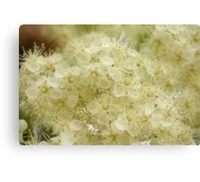 Mountain ash blossom Canvas Print