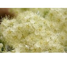Mountain ash blossom Photographic Print