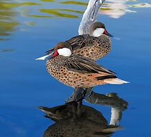 White Cheeked Pintails by Nathan Lovas Photography