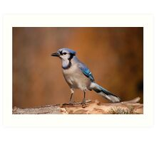 Pretty Blue Jay Art Print