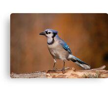 Pretty Blue Jay Canvas Print