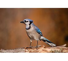 Pretty Blue Jay Photographic Print