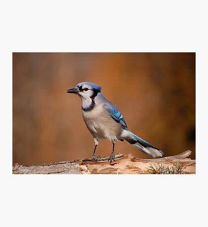 Pretty Blue Jay Photographic Print