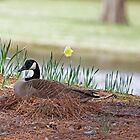 Canadian Goose with Eggs in Nest by imagetj