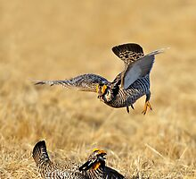 Prairie Chickens  by Nathan Lovas Photography