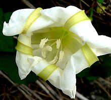 Moon Flower by Rosalie Scanlon