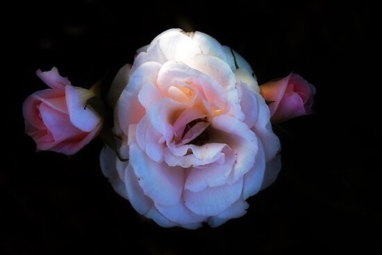 Pink Rose by Elaine Teague