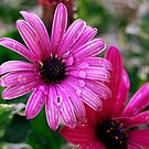Dew Droplets on a Purple Coneflower After Dawn by PrecisionFX
