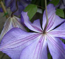 Clematis viticella 'Venosa Violacea'  by Jinny  Coyle