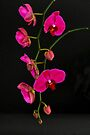 ORCHID 1084 (GREETING CARD ONLY) by Thomas Barker-Detwiler
