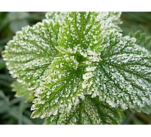 Frosty nettle Photographic Print