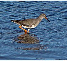 """ Forced to go on my daily walk, we came across this REDSHANK in the Hayle Estuary by Malcolm Chant"