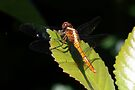 Black-headed Skimmer Dragonfly - Crocothemis nigrifrons  female by Normf