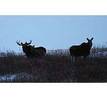 moose family photo Photographic Print
