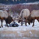 elk rut melee by Kevin Williams