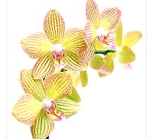 Yellow Beauty by orchiddesign