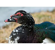 Mr. Muscovy Photographic Print