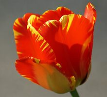 Flaming Tulip! by Holly Schimpf