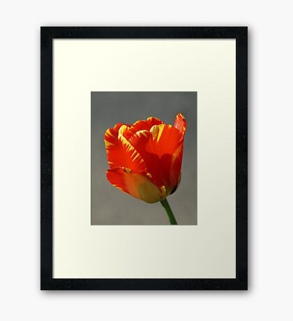 Flaming Tulip! Framed Print