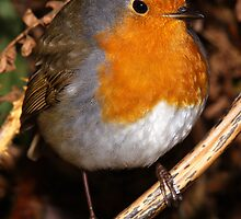 European Robin by Roger Butterfield