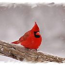 Winter Cardinal by Gregg Williams
