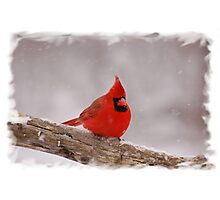 Winter Cardinal Photographic Print
