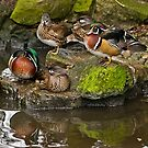 Wood Ducks by Steve  Liptrot
