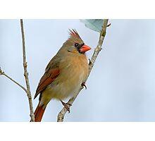 Mrs. Northern Cardinal Photographic Print