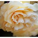 Apricot Delight by Arrina