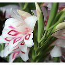 Species Gladiolus by Arrina